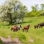 Herd of wild steppe horses on graze — Stock Photo #2377256
