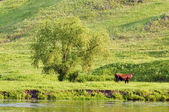 Rural landscape with a grazing cow — Stock Photo