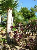 Platanoides trees — Stock Photo