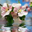 Apple blossom. Flowers over water — Stock Photo #1192922