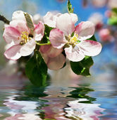 Apple blossom. Flowers over water — Stock Photo