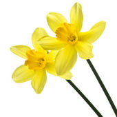 Daffodils on white background — Stock Photo