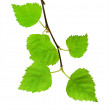Green branch — Stock Photo #1555796