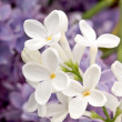 Stock Photo: Flowers lilac
