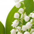Stok fotoğraf: Lily of valley