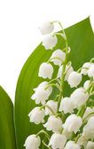 Lily of the valley — Zdjęcie stockowe