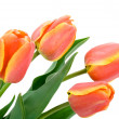 Tulip — Stock Photo #2252576