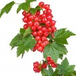 Red currant — Stock Photo #2263166