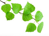 Green branch — Stock Photo