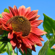 Beautiful red sunflower under blue sky — Stock Photo