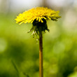 Dandelion — Stock Photo #1104763