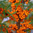 Stock Photo: Sea-buckthorn berries