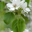Apple tree blossom — Stock Photo #1053301