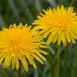 Yellow Dandelion - Foto Stock