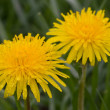 Royalty-Free Stock Photo: Yellow Dandelion