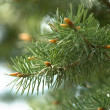 Close-up of pine branches — Stock Photo