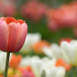 The pink tulip — Stock Photo #1053400