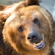 Brown bear — Stock Photo #1059915