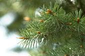 Close-up di rami di pino — Foto Stock