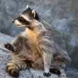 Cute raccoon — Stock Photo