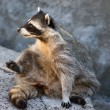 Stock Photo: Cute raccoon