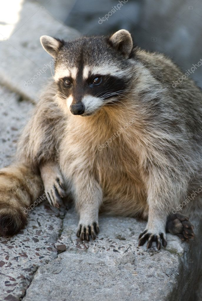 Cute raccoon — Stock Photo #1060012