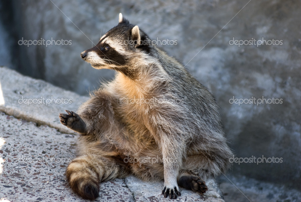 Cute raccoon — Stock Photo #1060040