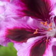 Geranium pink flower — Stock Photo