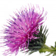 The Cotton Thistle flower — Stock Photo