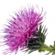 The Cotton Thistle flower — Stock Photo #1076467