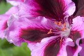 Geranium rosa blomma — Stockfoto