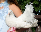 White pigeon in hand of bride — Stock Photo