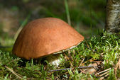 Orange cap mushroom — Stock Photo