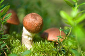 Orange-cup boletus — Stock Photo