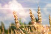 Trigo de oro crece en un campo de granja — Foto de Stock