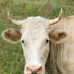 Cow — Stock Photo