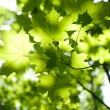 Green leaves, shallow focus — Stock Photo #1139272