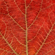 Autumn leaf texture closeup — Stock Photo #1532980