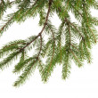 Photo: Fir tree branch on white