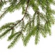 Foto Stock: Fir tree branch on white