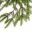 Fir tree branch on white — Stock Photo