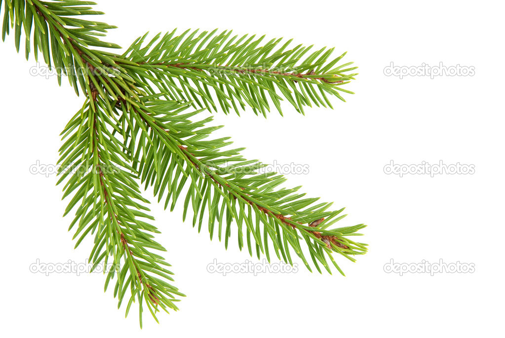 Branch of a Christmas Tree on white background — Stock Photo #1554129