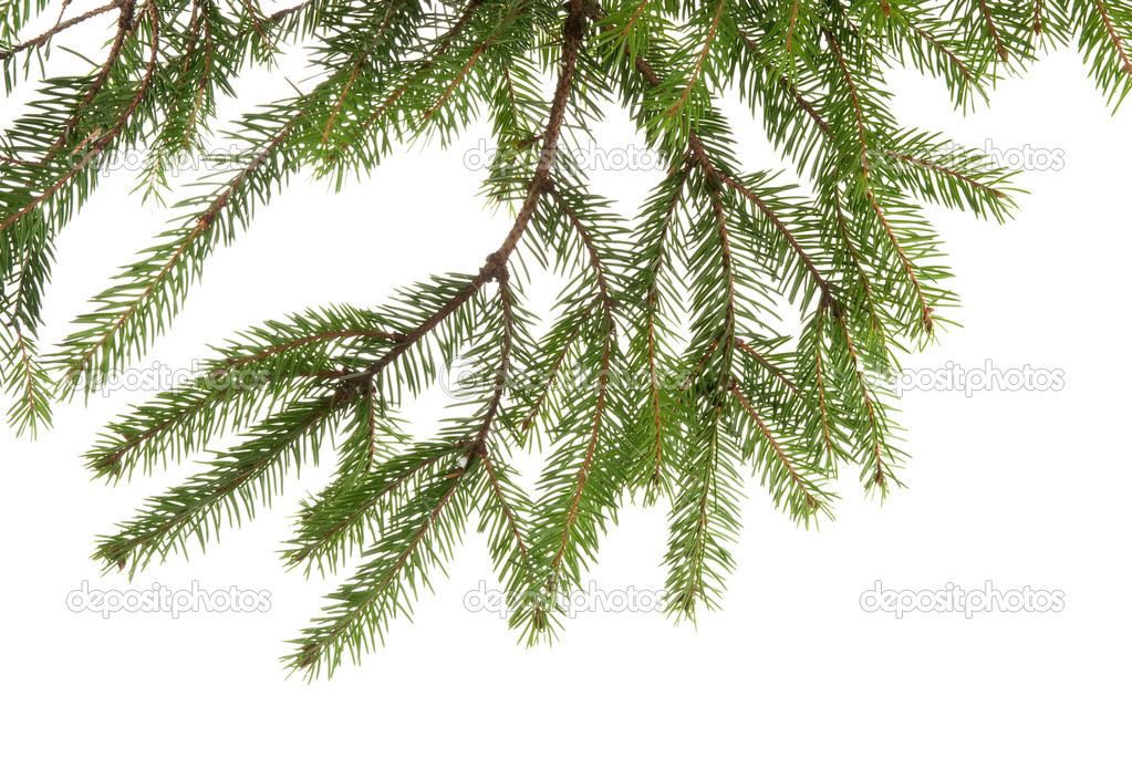 Fir tree branch on white — Stock Photo #1554227