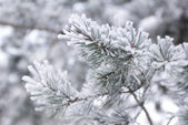 Fir tree branch covered with snow — ストック写真