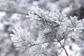 积雪覆盖的杉木树分支 — 图库照片