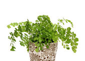 Adiantum — Stock Photo