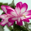 Christmas Cactus — Stock Photo