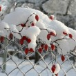 The Branch of the hawthorn in snow - Stock Photo