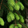 Green fir tree — 图库照片