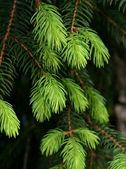 Groene fir tree — Stockfoto
